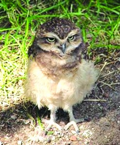 Hector Burrowing Owl