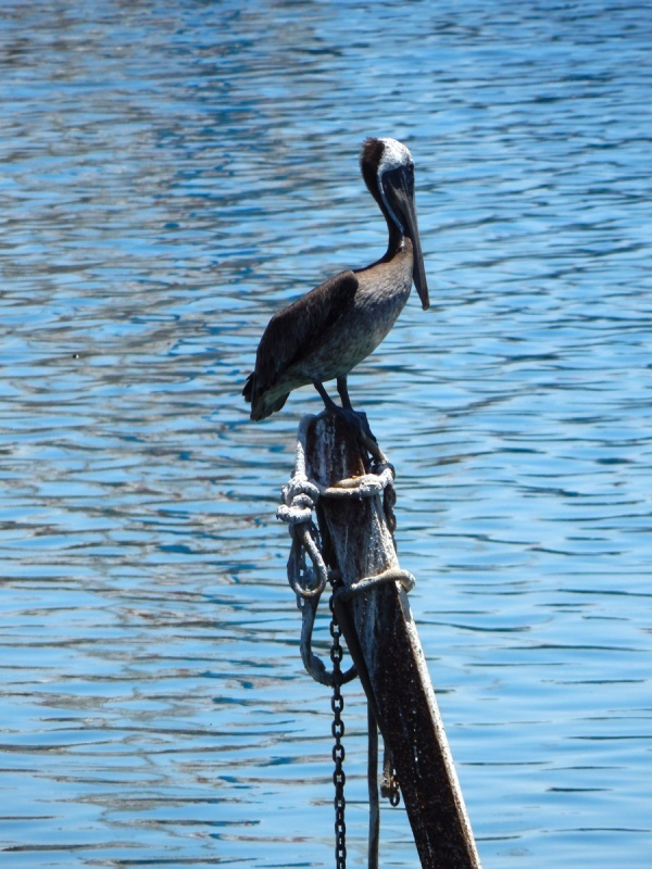 Pelican on a pole
