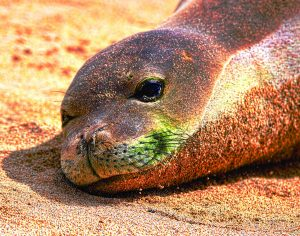 Monk Seal smile