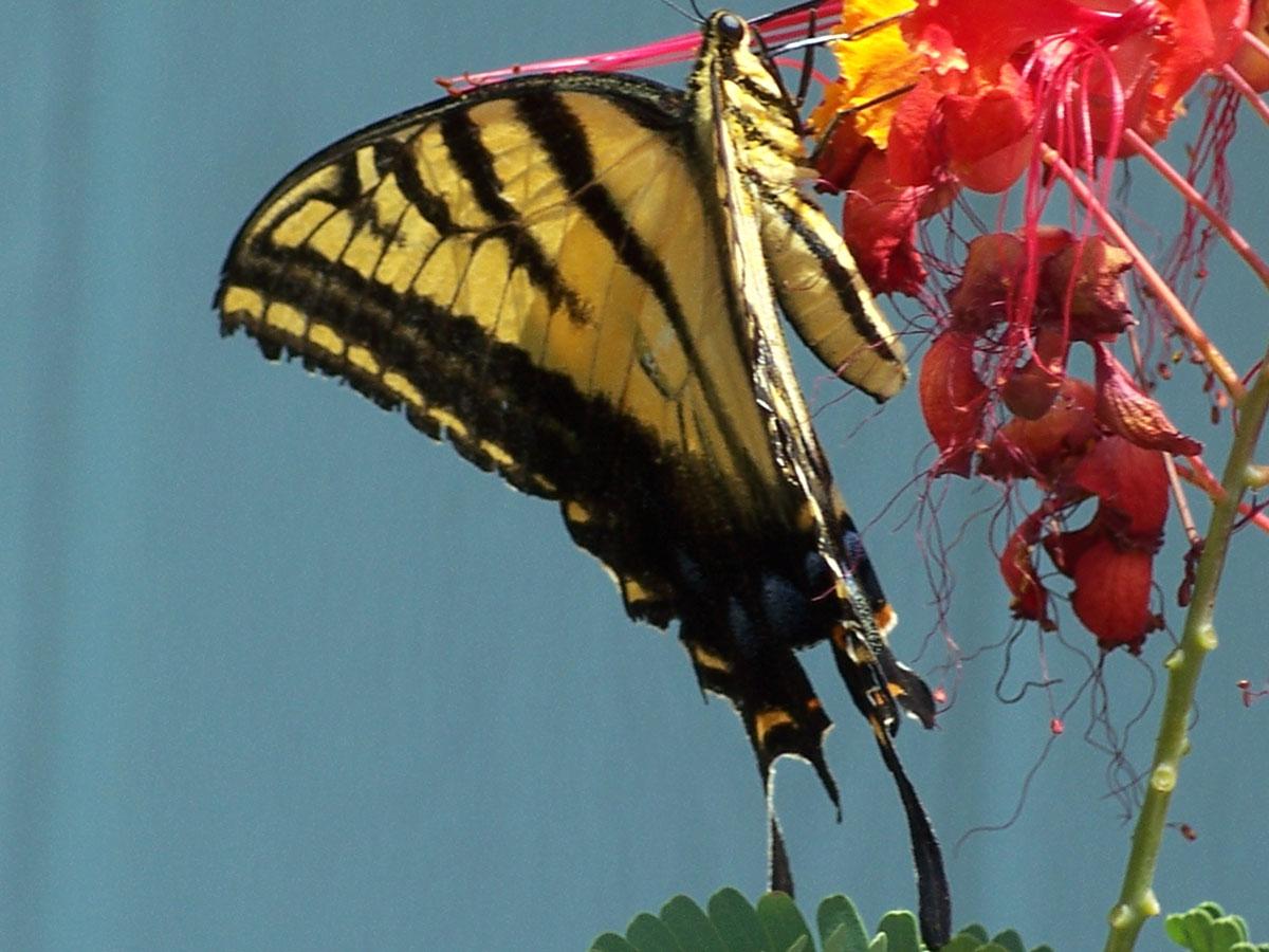 Return of the giant yellow swallowtail