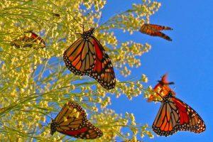 Monarchs-02