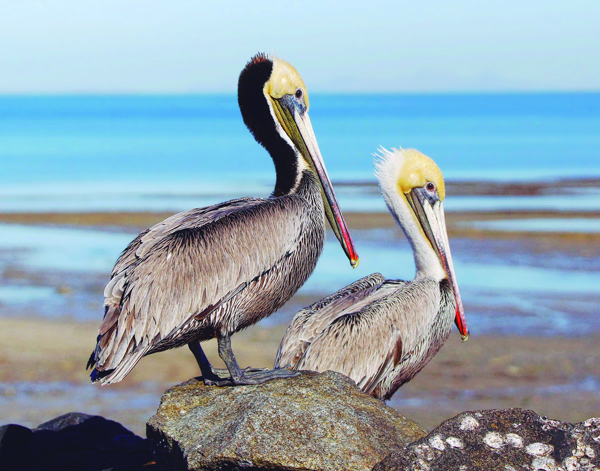 The Many faces of a Brown Pelican